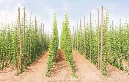 growers: hops garden, Czech Republci
