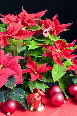 christmas motive: Christmas still life with Poinsettia
