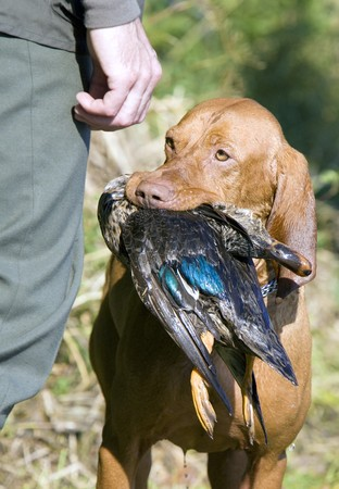 hunting dog with a catch Stock Photo