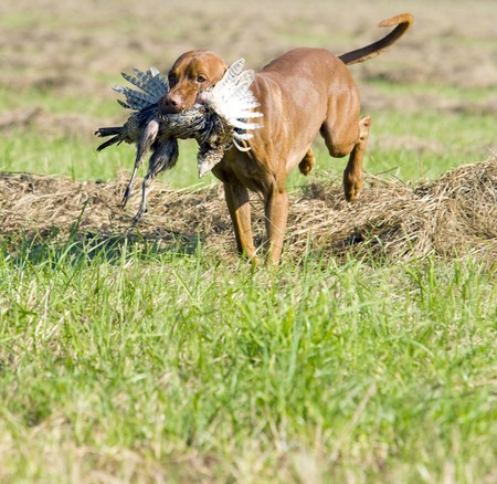 outside shooting: hunting dog with a catch Stock Photo