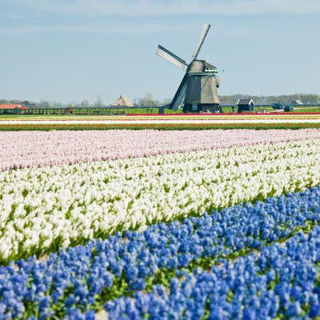 windmill with hyacinth field near Sint-Maartens-vlotbrug, Netherlands Stock Photo - 8037310