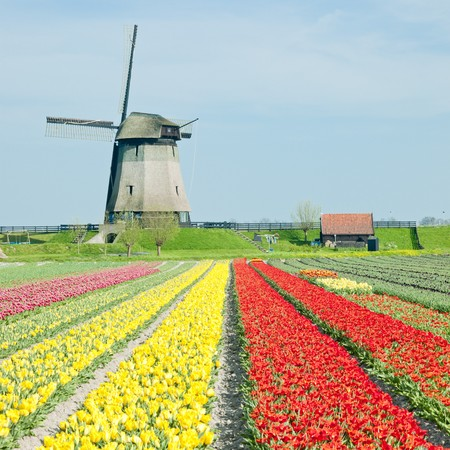 windmill with tulip field near Schermerhorn, Netherlands Stock Photo - 8037289