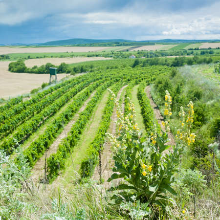 znojemsko: vineyard, Eko Hnizdo, Czech Republic Stock Photo