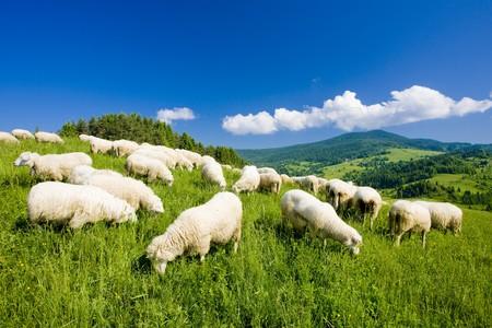 oveja: reba�os de ovejas, Mala Fatra, Eslovaquia  Foto de archivo