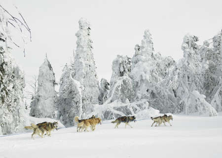dog sled: sledge dogging, Sedivaceks long, Czech Republic