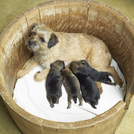 lactation: female dog with puppies (Border Terrier)
