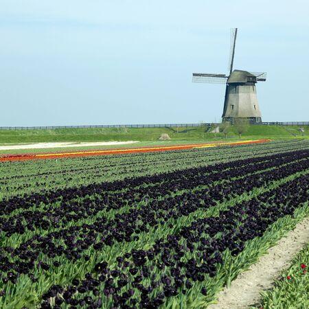 windmill with tulip field near Schermerhorn, Netherlands Stock Photo - 8218236