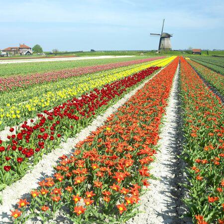 windmill with tulip field near Schermerhorn, Netherlands Stock Photo - 8218293