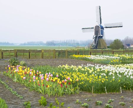 windmill with tulips and daffodils near Offem, Netherlands Stock Photo - 8379052