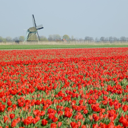 windmill with tulip field near Ooster Egalementsloot canal, Netherlands Stock Photo - 8379054