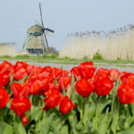 windmill with tulip field near Ooster Egalementsloot canal, Netherlands Stock Photo - 8379018