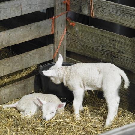hoorn: lambs, Den Hoorn, Texel Island, Netherlands