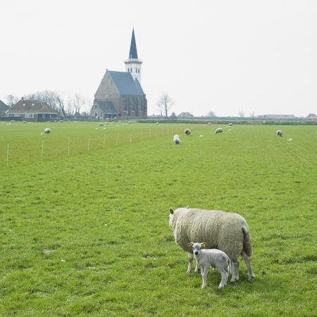 hoorn: sheep with a lamb, Den Hoorn, Texel Island, Netherlands Stock Photo