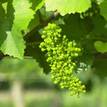 unripe: unripe grapevine, Czech Republic Stock Photo