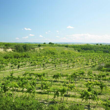 znojmo region: vineyard called Peklo, Znojmo Region, Czech Republic