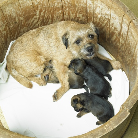 female dog with puppies (Border Terrier) Stock Photo - 8383210