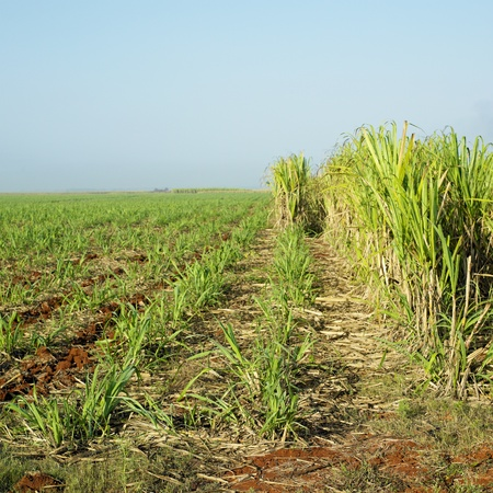 sugar cane field, Ren� Fraga, Cuba photo