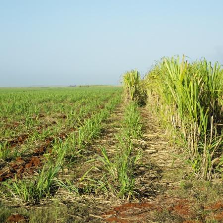 growers: sugar cane field, Ren� Fraga, Cuba