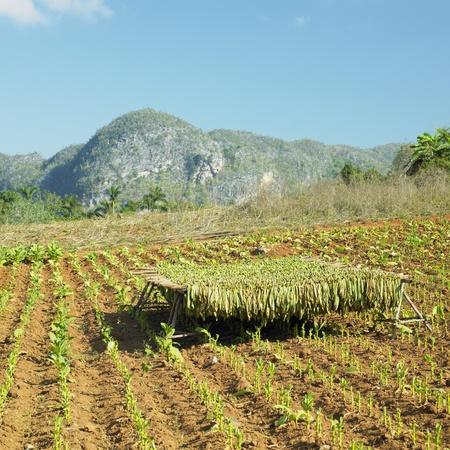 pinar: tobacco harvest, Pinar del Río Province, Cuba Stock Photo