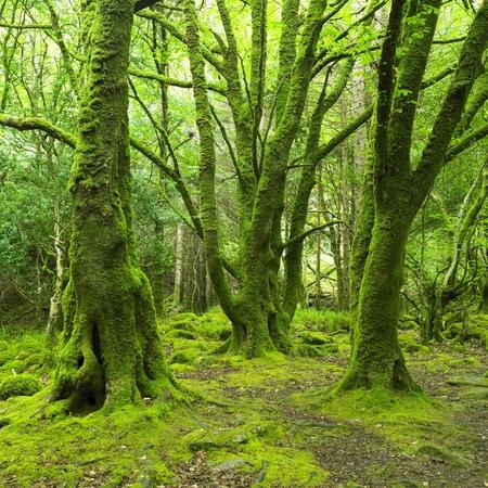 kerry: forest, Killarney National Park, County Kerry, Ireland Stock Photo