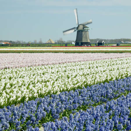 windmill with hyacinth field near Sint-Maartens-vlotbrug, Netherlands Stock Photo - 8384162