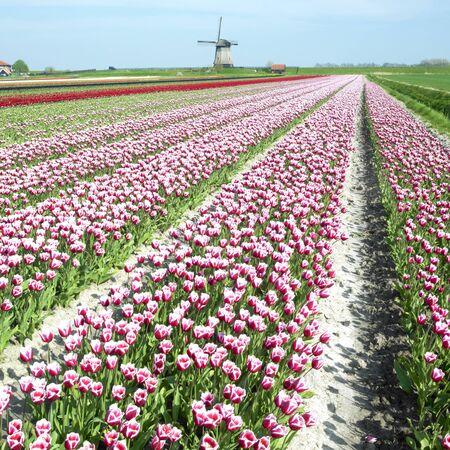 windmill with tulip field near Schermerhorn, Netherlands Stock Photo - 8384448