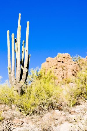 Saguaro National Park, Arizona, USA photo
