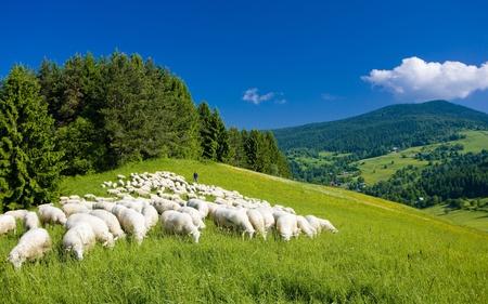 羊の群れ、マラ Fatra、スロバキア 写真素材