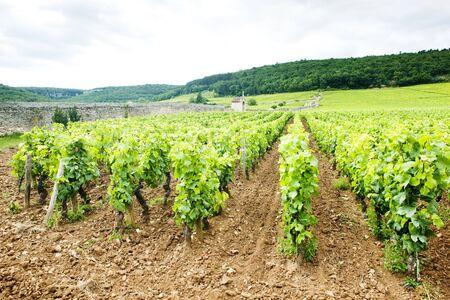 crus: vineyards near Gevrey-Chambertin, Cote de Nuits, Burgundy, France