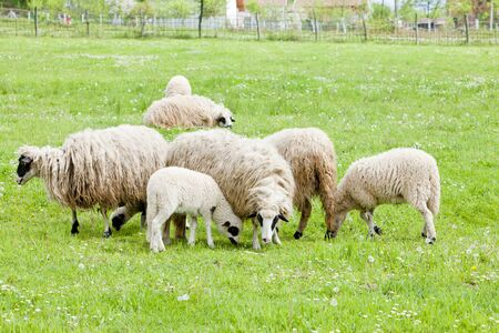 bosnia hercegovina: sheep on meadow, Bosnia and Hercegovina Stock Photo