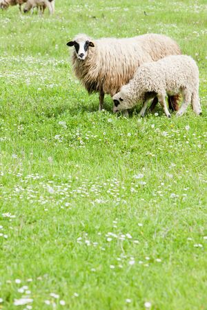 bosnia hercegovina: sheep with a lamb, Bosnia and Hercegovina