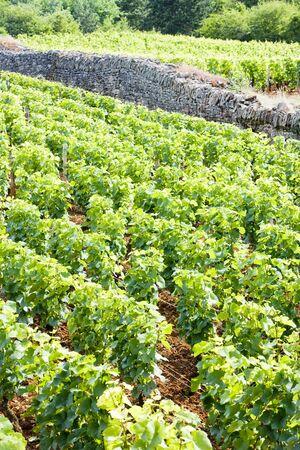 crus: vineyard near Brochon, Cote de Nuits, Burgundy, France Stock Photo