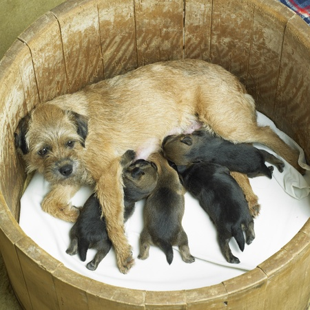 mujer perro: perro femenino con cachorros (Border Terrier)