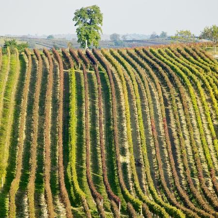 r�publique  tch�que: vignobles dans la r�gion de Cejkovice, R�publique tch�que Banque d'images