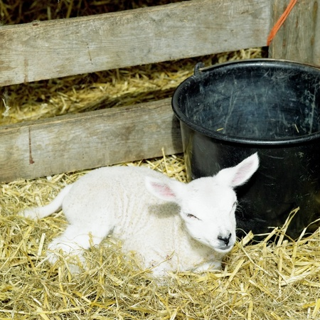 lamb, Den Hoorn, Texel Island, Netherlands Stock Photo - 8693532