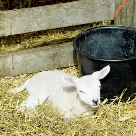 hoorn: lamb, Den Hoorn, Texel Island, Netherlands Stock Photo