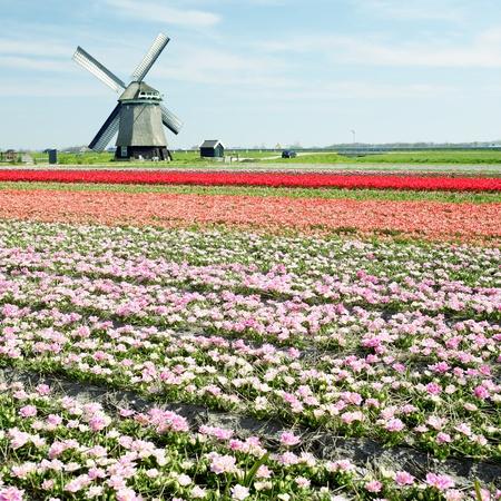 windmill with tulip field near Sint-Maartens-vlotbrug, Netherlands Stock Photo - 8691720