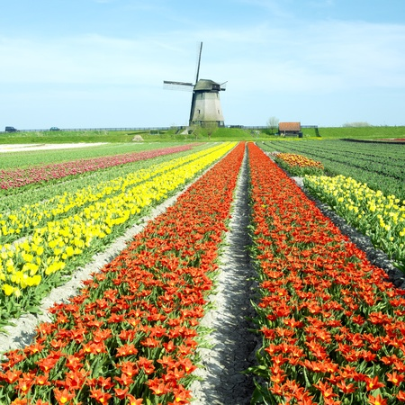 netherland: windmill with tulip field near Schermerhorn, Netherlands