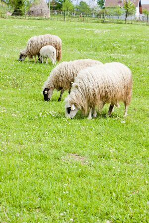 hercegovina: sheep on meadow, Bosnia and Hercegovina Stock Photo