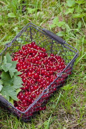 redcurrant: redcurrant in basket