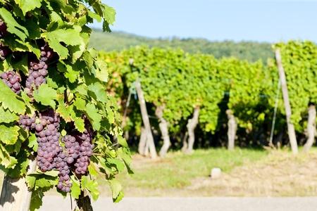 viniculture: grapevine in vineyard (gewurztraminer), Alsace, France