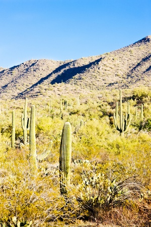 Saguaro National Park, Arizona, USA Stock Photo - 8877197