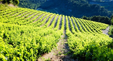 viniculture: vineyards near Gigondas, Provence, France Stock Photo