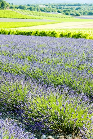lavender field with vineyards, Drome Department, Rhone-Alpes, France photo