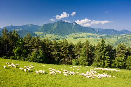 sheeps: sheep herd, Mala Fatra, Slovakia