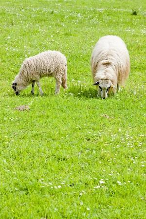 bosna: pecore con un agnello sul prato, Bosnia ed Erzegovina