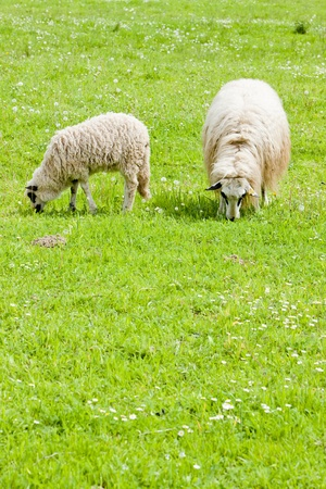 sheep with a lamb on meadow, Bosnia and Hercegovina photo