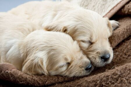 sleeping puppies of golden retriever Stock Photo - 8878999