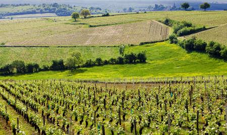 Te: vineyards of C�te Chalonnaise region, Burgundy, France