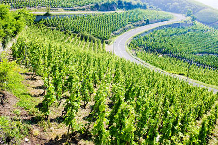 grand cru vineyard, Côte Rotie, Rhône-Alpes, France Stock Photo - 9018118
